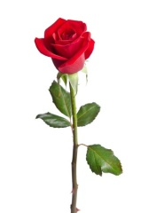 36568394 - beautiful red rose isolated on white background