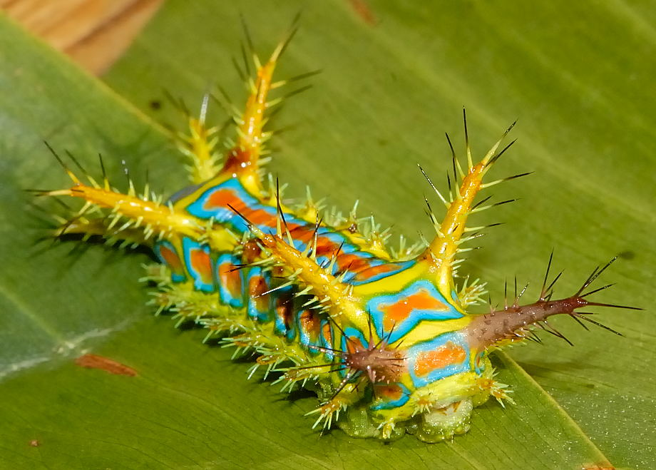 the-wattle-cup-caterpillar