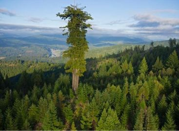 tallest-tree1.jpg